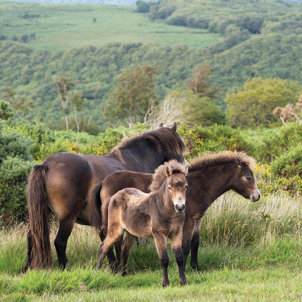Exmoor Ponies near Longlands