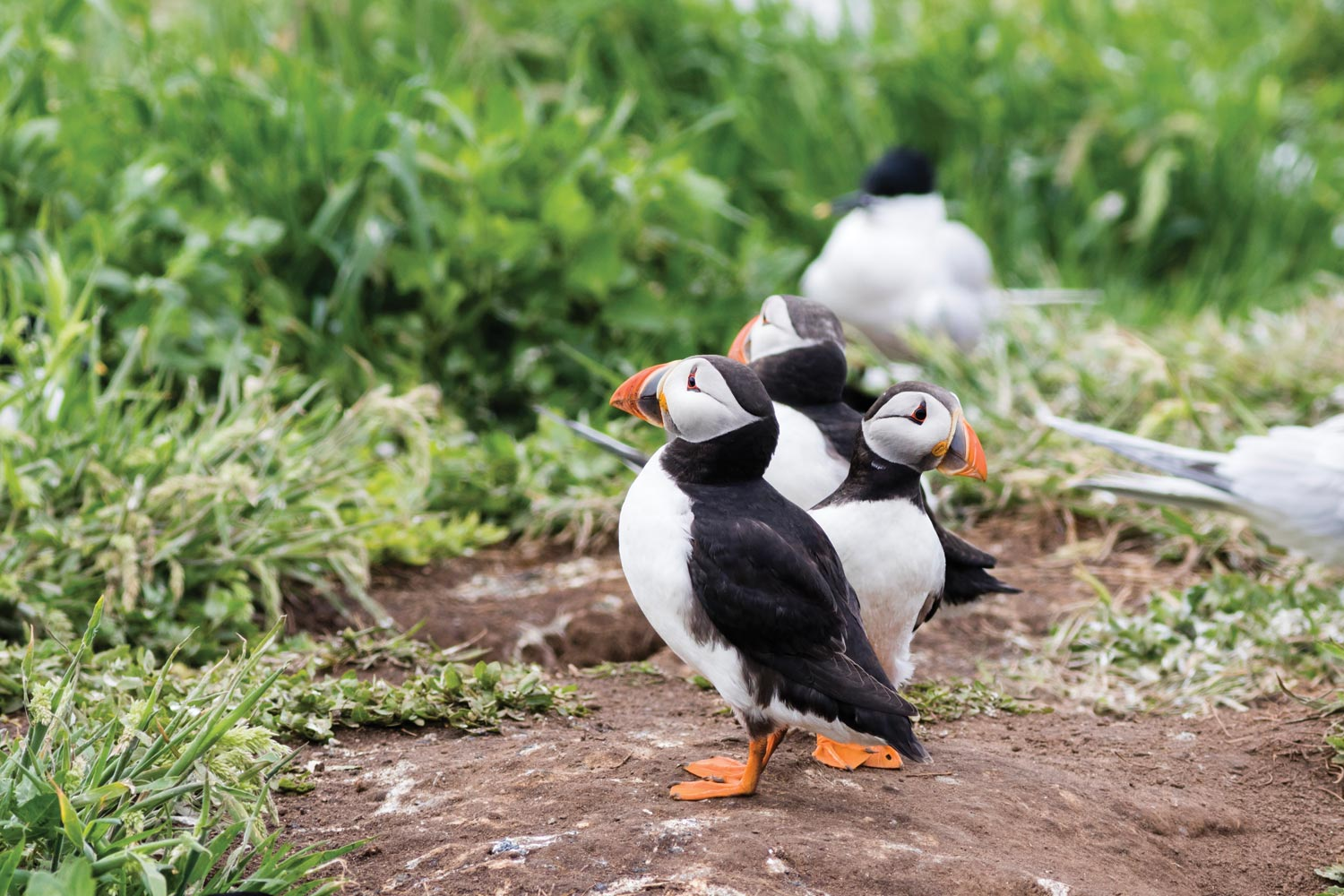 Lundy Puffins near Longlands Glamping